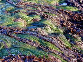 DELICIOUS SEA WEEDS, FORAGE, MAKE SOUP
